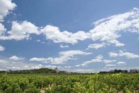 Vineyard Chateauneuf-du-Pape. France.