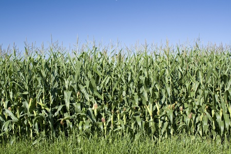 non cultivated: Corn field with blue sky