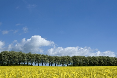 Rape field with tree