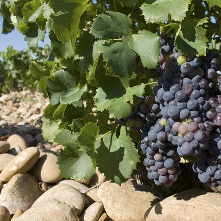rhone: Grapes in Vineyard, France