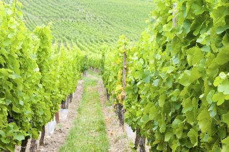Vineyard in France.