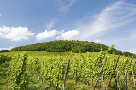 Vineyard from France.