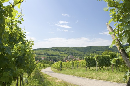 Vineyard from Alsace. France