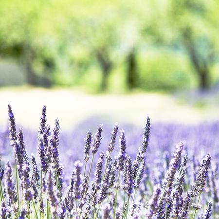 Provence typical lavender landscape. High key. Stock Photo