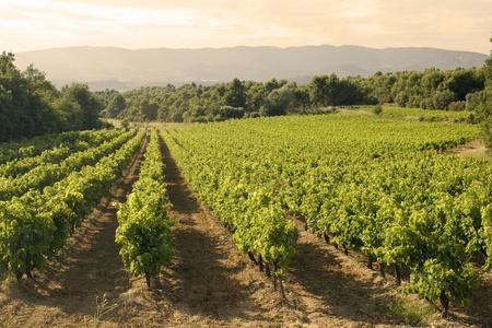 Vineyard in sunset.