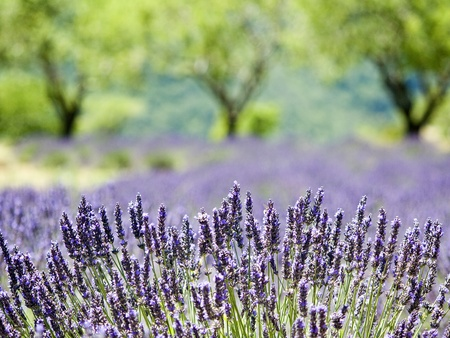 herbs of provence: Provence, typical lavender landscape. Stock Photo