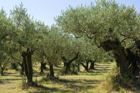 Olive tree in a grove, Provence. France