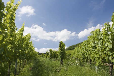 Vineyard, french, france, alsace,  blue, sky,