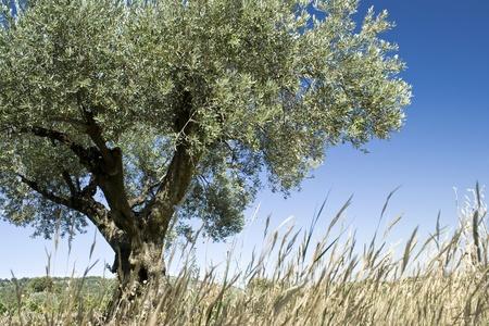 paisaje mediterraneo: Olivo, de la Provenza. Francia.