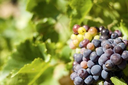 Grape, vineyard. Chateaunef-du-Pape. France