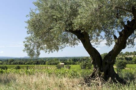 Olive tree, in landscape. Provence. France.