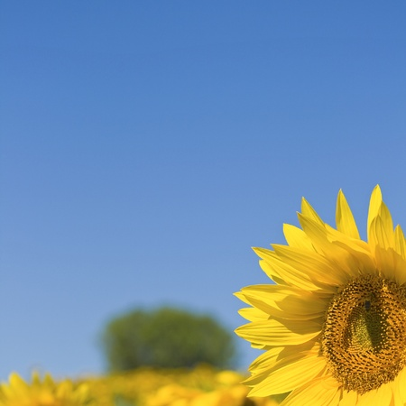 Sunflower, blue summer sky.