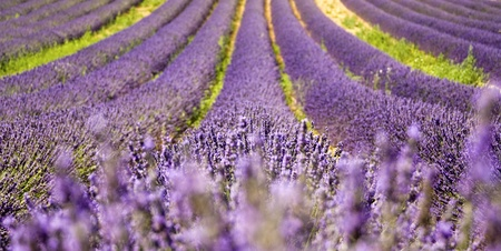 Lavender field from Provence. France.