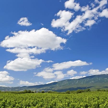 Vineyard in Provence. France. Stock Photo