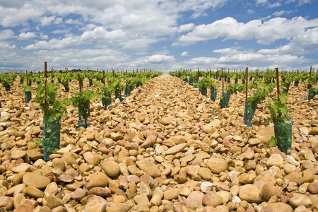Vineyard, young plant from Chateauneuf-du-Pape. Provence. Stock Photo
