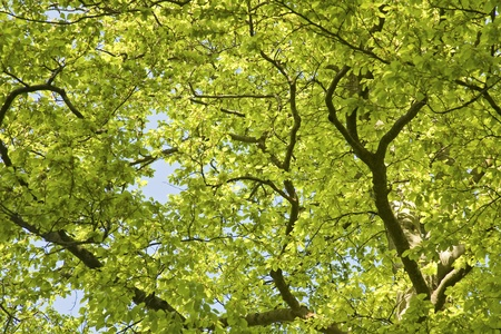 treetop: Green Leaves in beech tree canopy, spring.