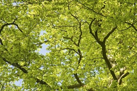 beech tree: Green Leaves in beech tree canopy, spring.