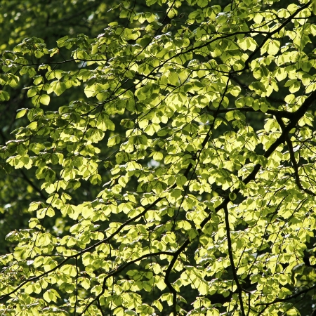 Green leaves in backlighting. Forest. Stock Photo - 13668455