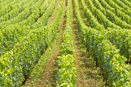 Vineyard in Bourgogne, Burgundy  France  Stock Photo