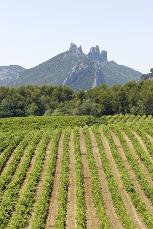 Gigondas vineyard with mountain  Provence  France