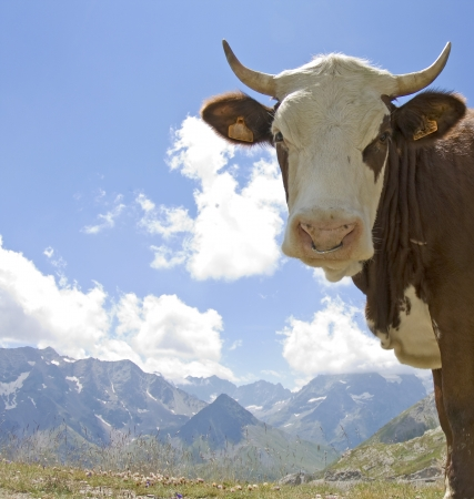 Cow, Hereford cow, cattle, in French Alps. France. photo