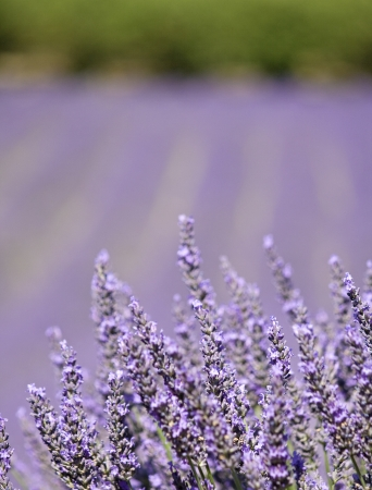 herbs of provence: Lavender flower in close up  Provence  France