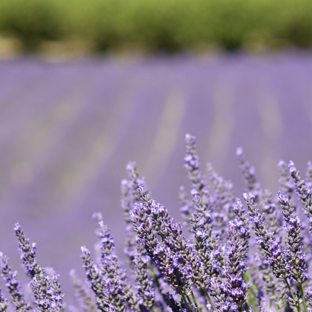 Lavender flower detail in close up  Provence  France