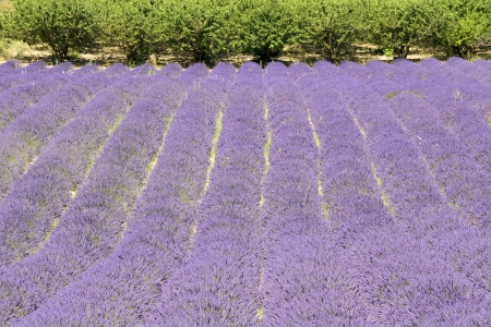 Lavender field, with tree  Provence, France  photo