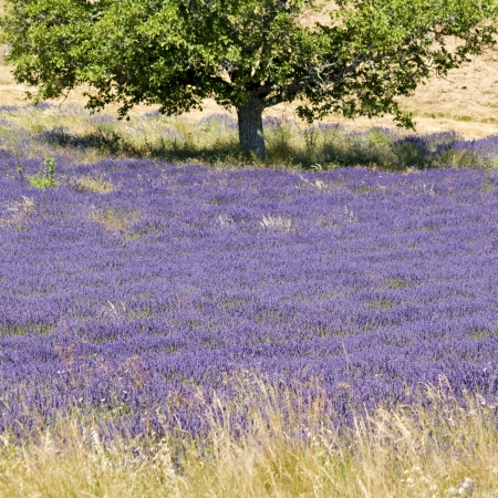 Lavender flower field with tree  Provence  France  Stock Photo