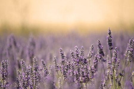 Meadow with lavender flower in lazy summer light. France.