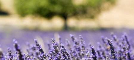 Lavender flower field in close up. Provence.