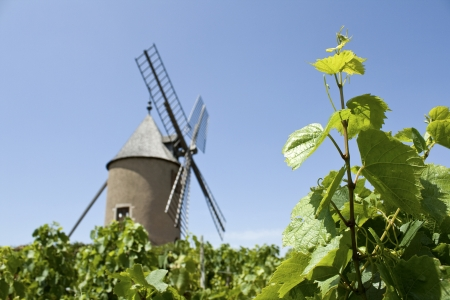 moulin: Vineyard, with Moulin A Vent from Beaujolais  france