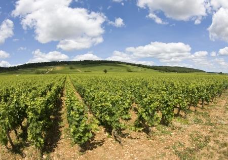 Vineyard in Bourgogne, Burgundy  Cote de Nuits  France