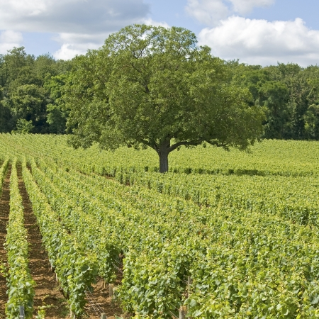 cote de nuits: Vineyard, with tree in Burgundy. France.