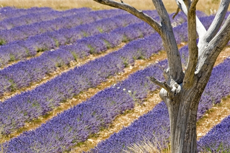 plateau of flowers: Lavender field with tree. Provence France.