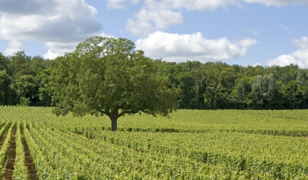 Vineyard in Bourgogne, Burgundy, Cote de Nuits. France.