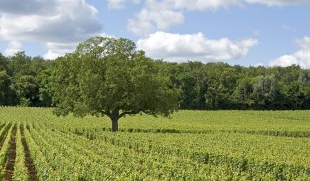 de focus: Vineyard in Bourgogne, Burgundy, Cote de Nuits. France.