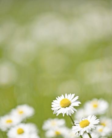 Daisy in summer meadow.
