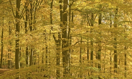Forest in autumn color. Beech woods.