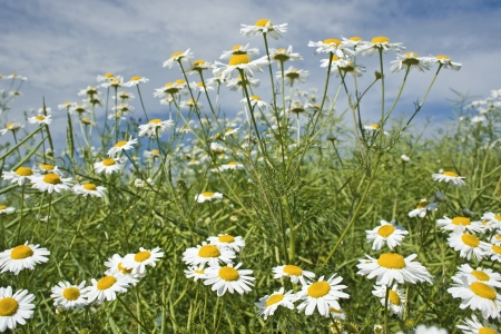 Meadow, wildflower chamomile, daisy in summer.