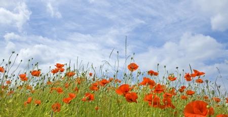 Wildflower, poppy flower in meadow.
