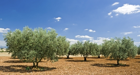 Olive tree, grove in Provence. France.