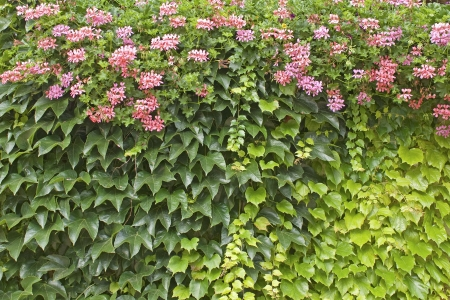 Flower, vertical garden. Green wall on house. Stock Photo