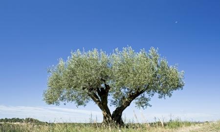 Olive tree, against blue sky,