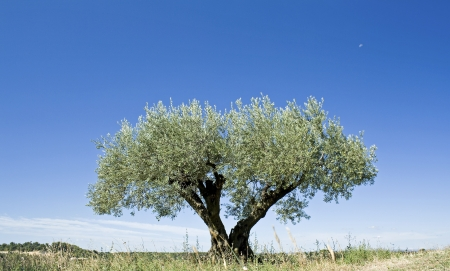 Olive tree, against blue sky,