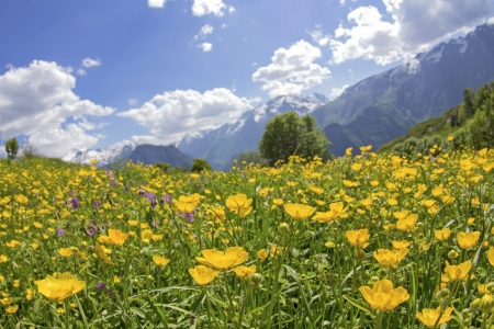 Meadow, with wildflower, flower  France Alps