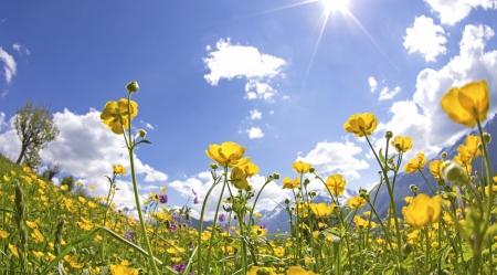 alp: Wildflower, flower in Meadow