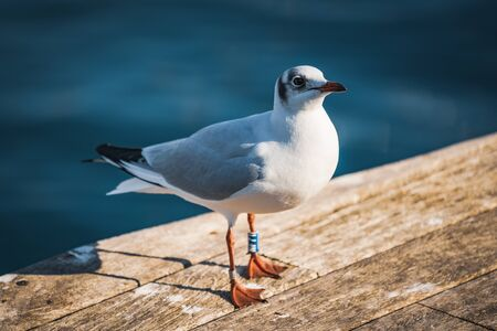 Small specimen of Black-headed gull in its winter plumage