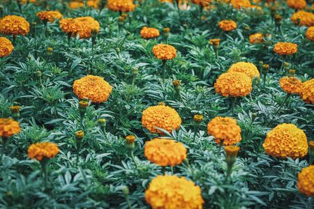 Orange flowers and buds of Tagetes erecta commonly known as African marigold