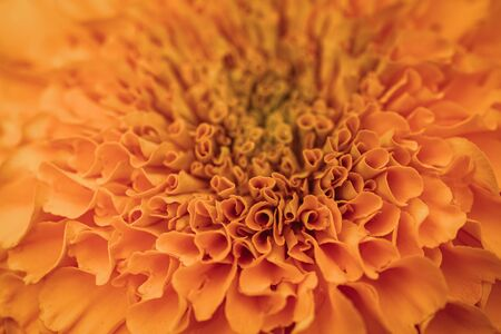 Orange petals of Tagetes erecta commonly known as African marigold Foto de archivo